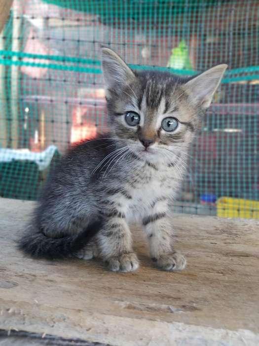 Vendo Gatitos Cruce de Angora Y Persa