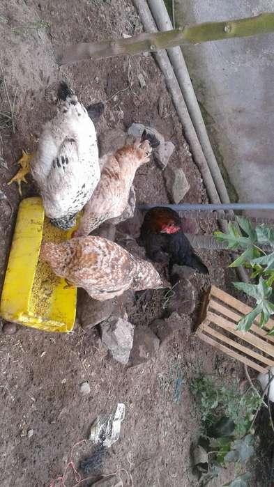 Vendo <strong>pollos</strong> de Campo
