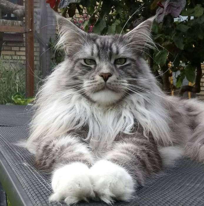 gato manie coon en venta cachorros de gato mas grande del mundo