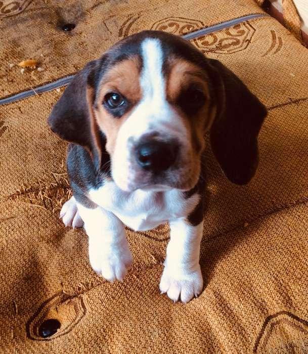 <strong>beagle</strong> Tricolor Miniatura