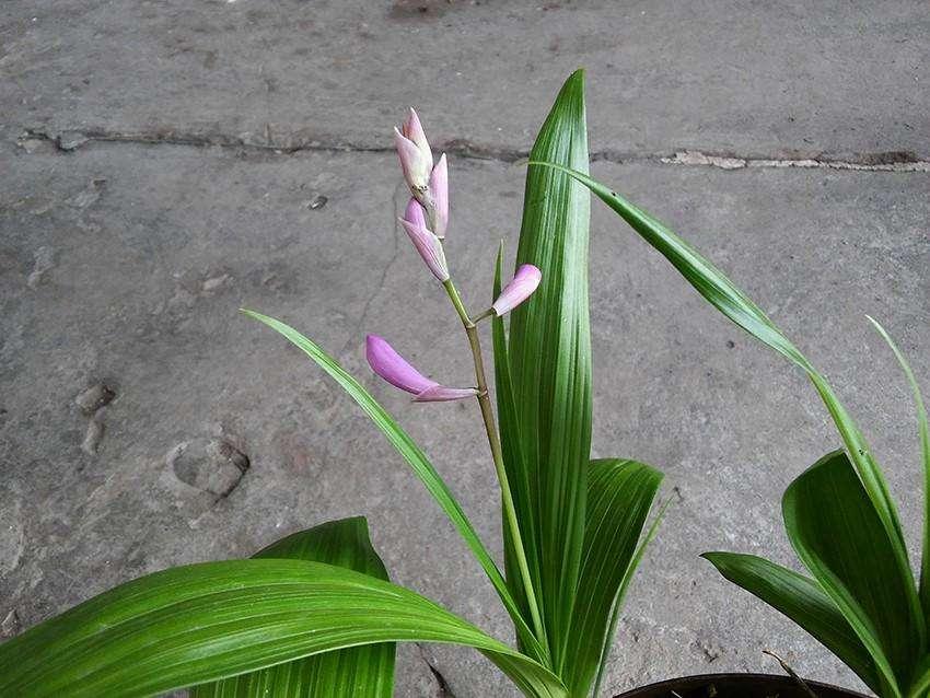 Orquidea Bletilla Striata de tierra