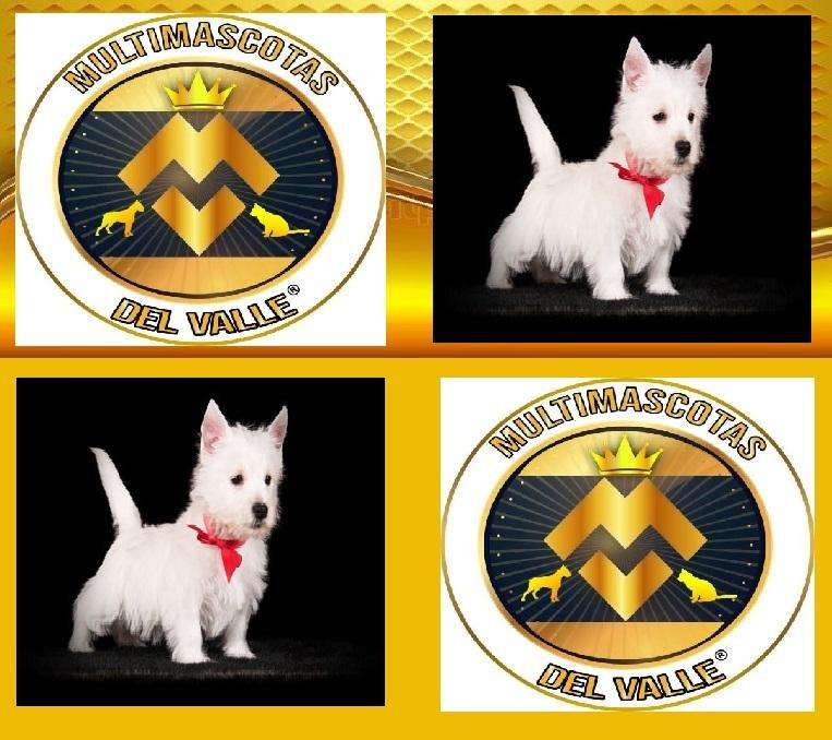 BELLOS WEST <strong>terrier</strong>