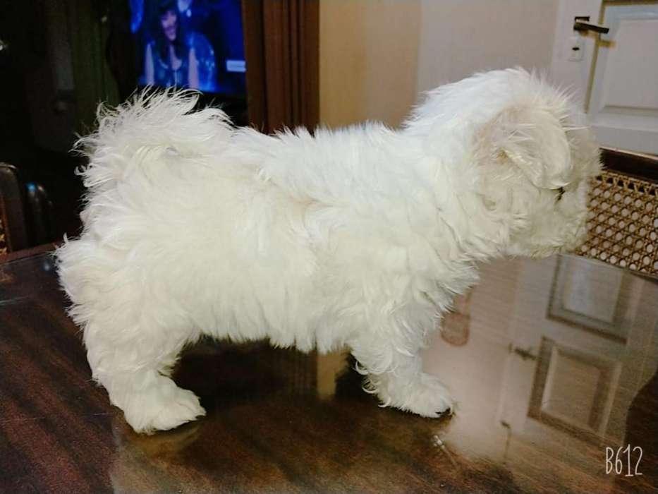 Vendo Cachorro Bichon Maltes Mini 50 Dia