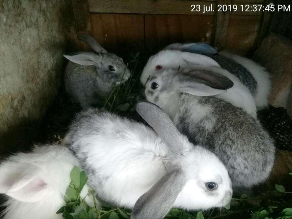 Conejos Americano Y Cabeza de León
