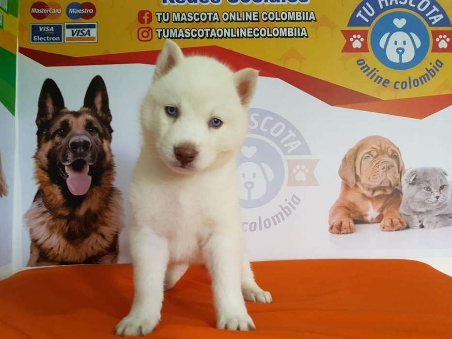 Nobles Husky Siberiano Ojos Azul Blanco
