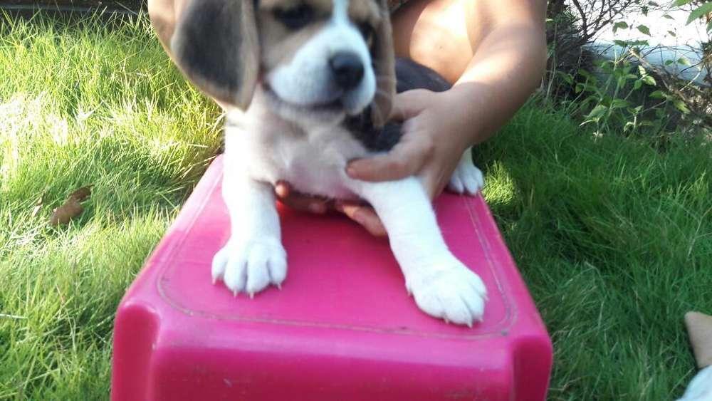 <strong>cachorro</strong>s Beagle Puros