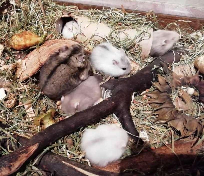 Hamster Rusos Orgánicos