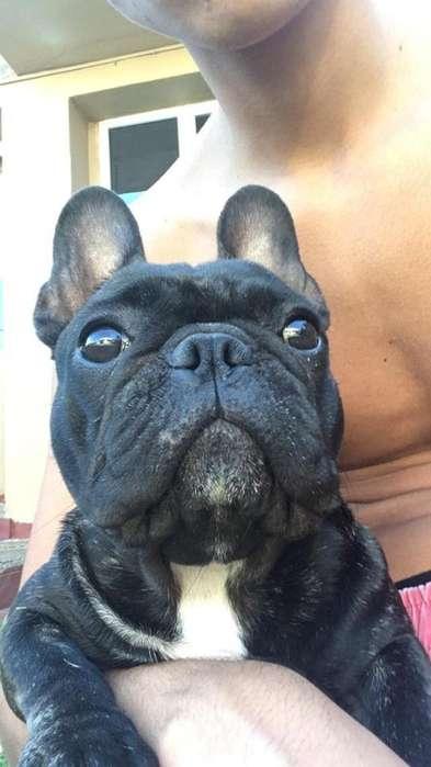 Bulldog Franses. Busca Novio
