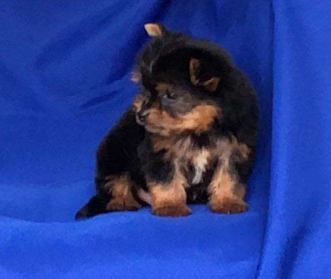 CACHORRITA Yorkshire <strong>terrier</strong> - Yorky