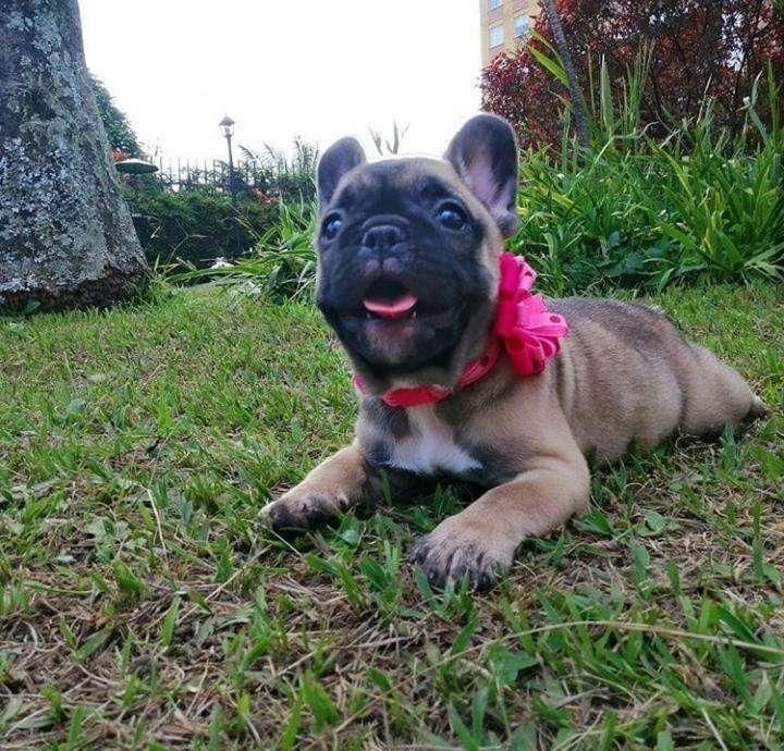 */<strong>bulldog</strong> Frances rojo*/