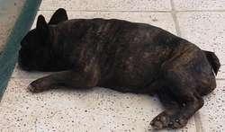 Bulldog Frances Pedigree de La Fca