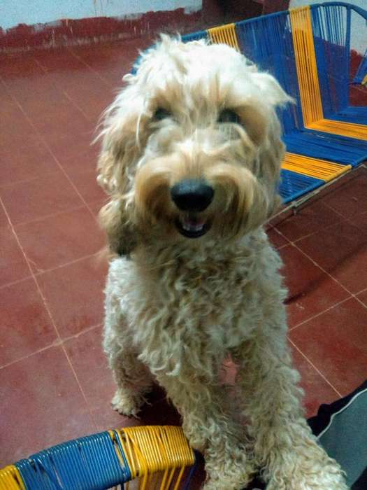 Busco perro macho para m poodle hembra