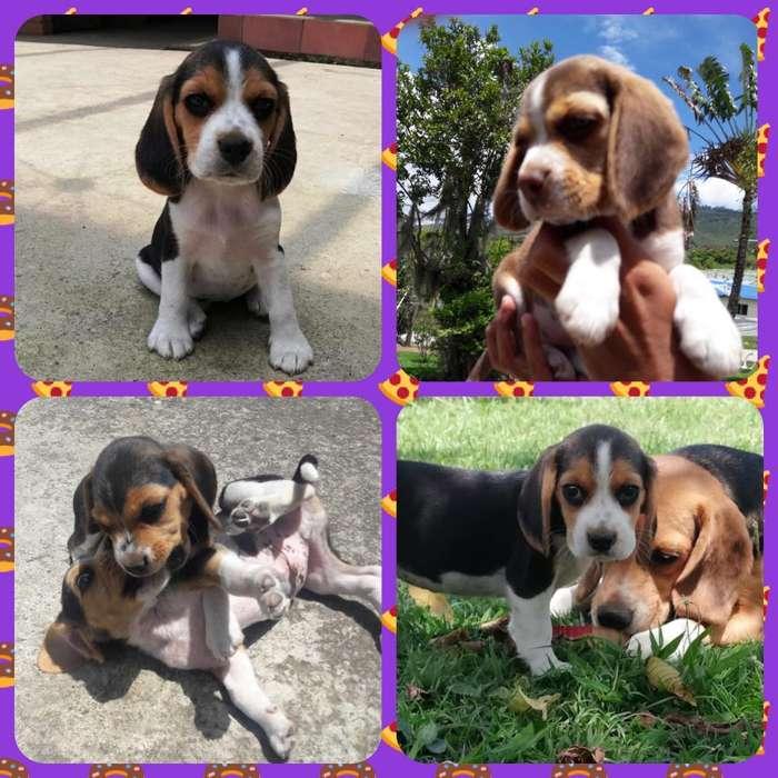 Hermosos Y Divinos Beagle
