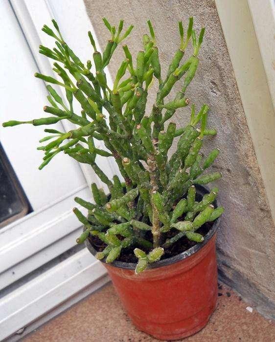 Plantas suculenta Hatioria en maceta 10 planta adulta