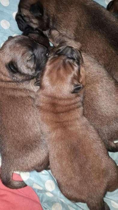 Hermosos Cachorros Chow Chow