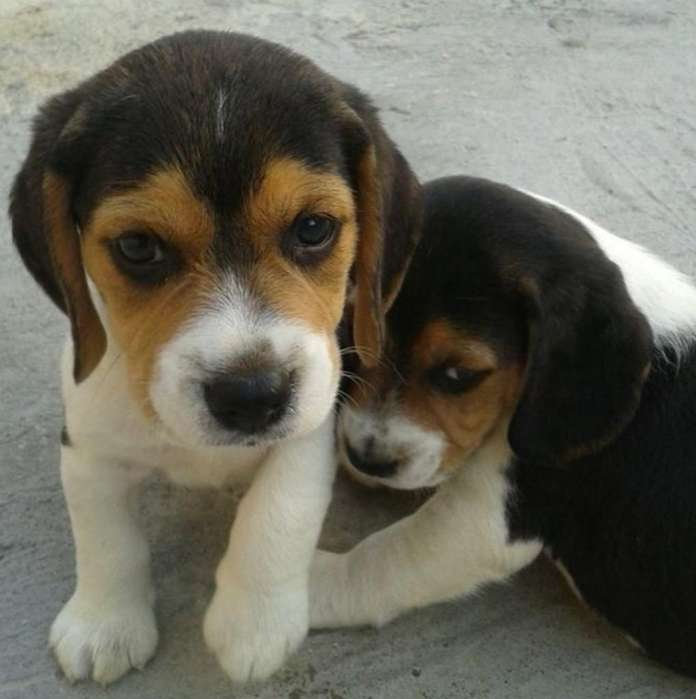 Espectaculares <strong>beagle</strong> Tricolor
