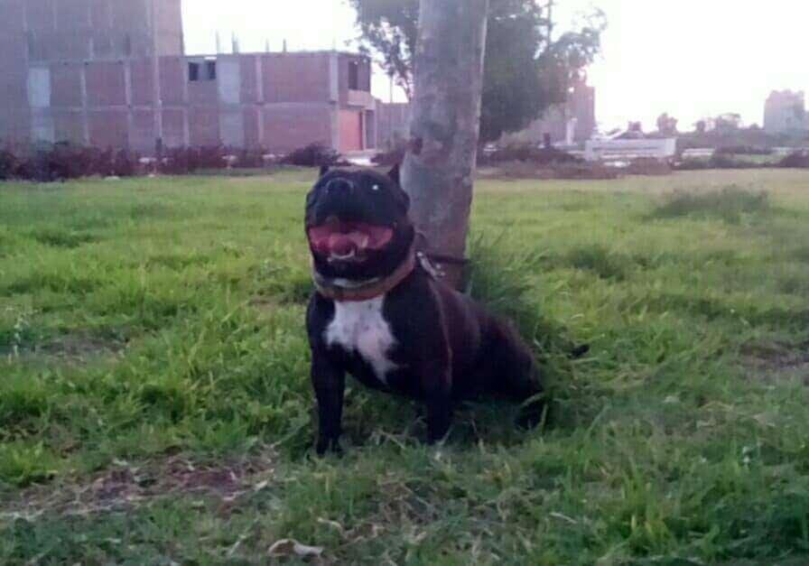 <strong>cachorro</strong>s pitbull en venta 975014867