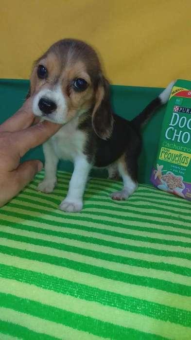 de Estaturitas Pequeñas <strong>beagle</strong>s