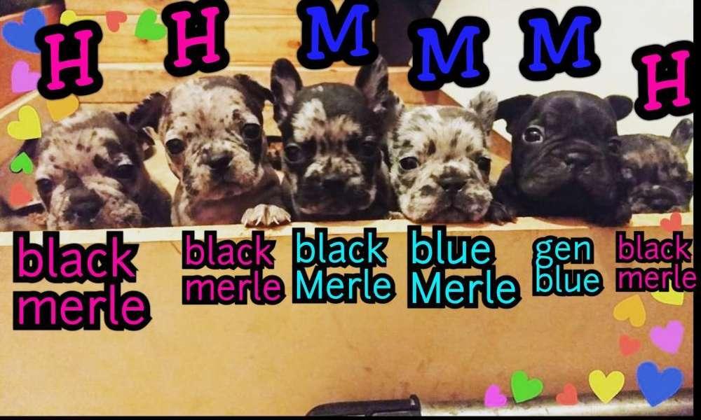 Merle Blue Macho Merle Black Macho