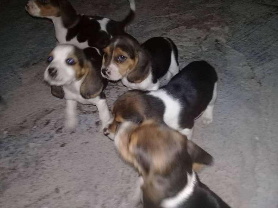 increibles beagle tricolor