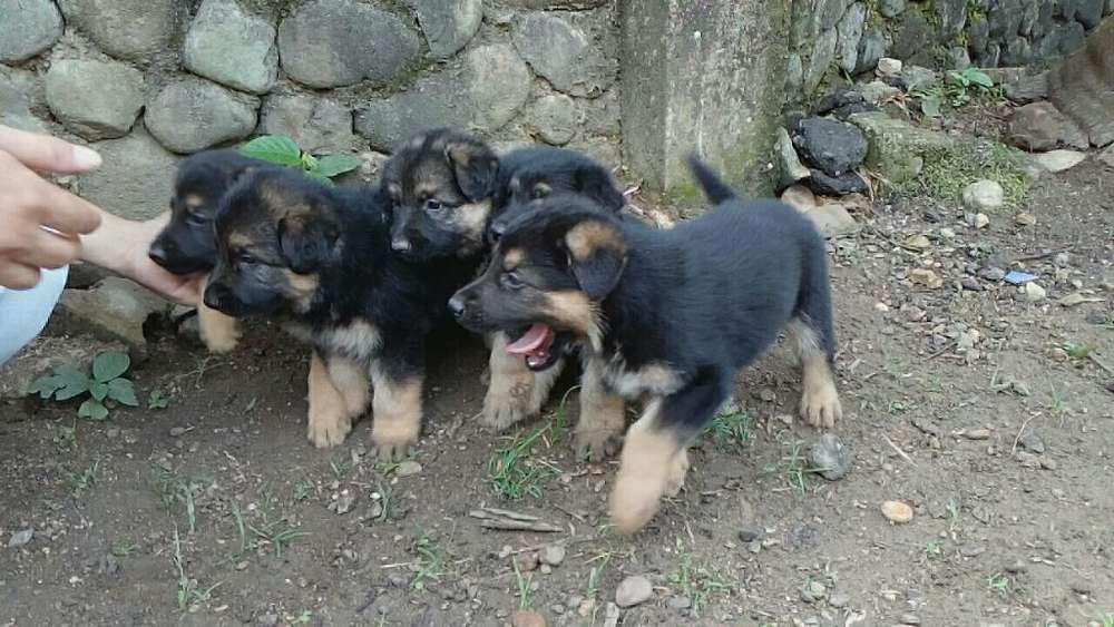 Lindos Cachorros Raza Pastor Alemán