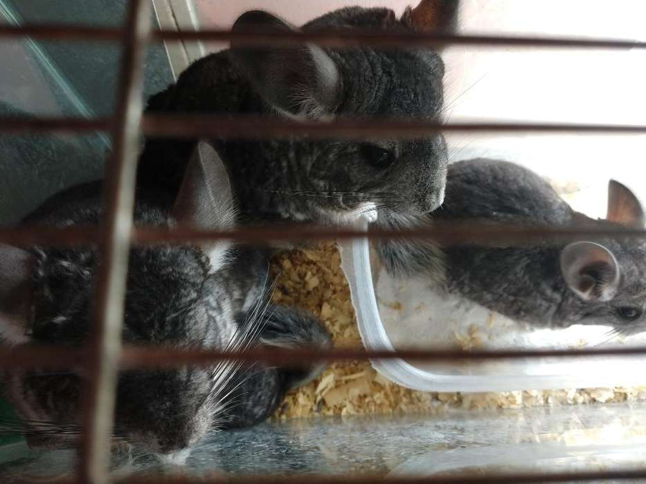 Vendo Chinchilla Hermosa