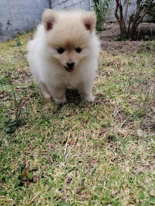 Pomerania Mini Toy Cachorritos