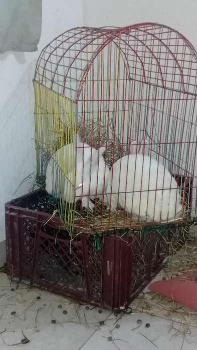 Venta de Conejos Newzelandes