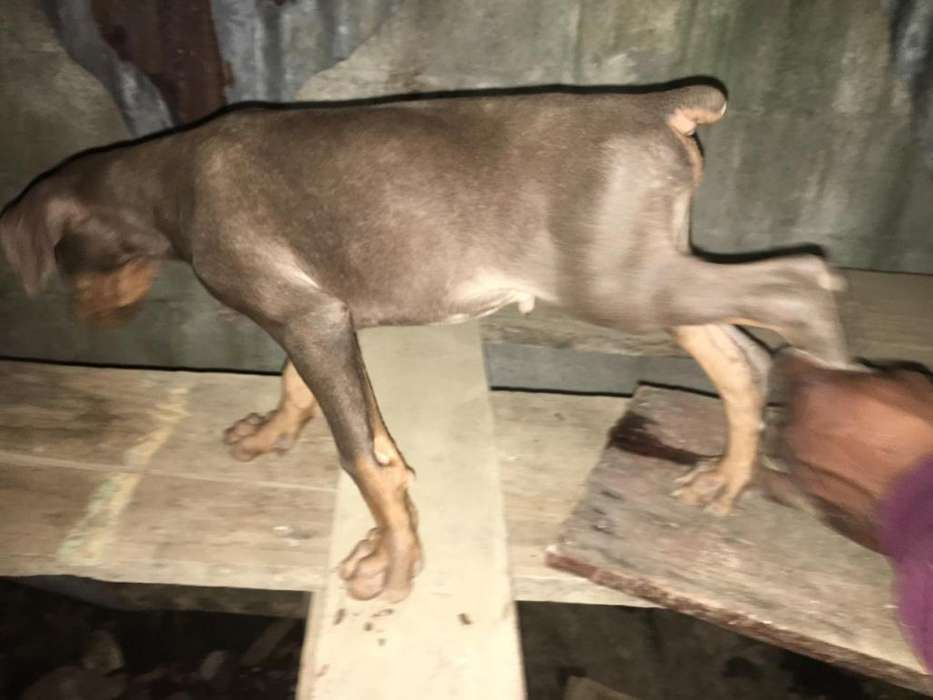 <strong>cachorro</strong>s Doberman