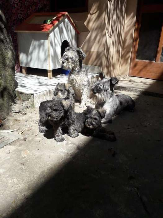 VENDO <strong>cachorro</strong>S Schnauzer - Perro Huancayo