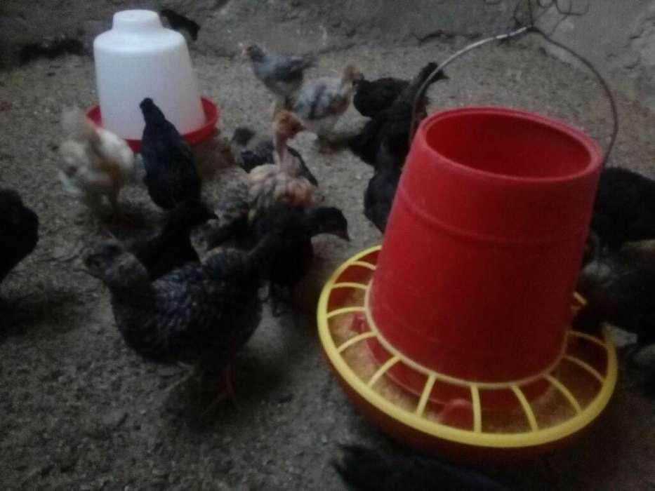 <strong>pollos</strong> Criollos 1mes Y Días Waspp