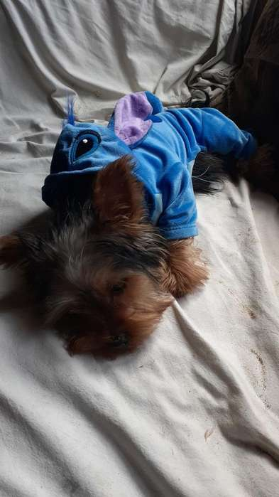 Vendo Yorkshire Terrier