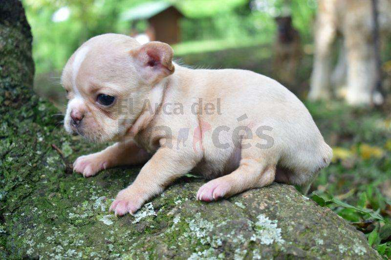 Cachorros <strong>bulldog</strong> Frances Fawn. El arca del frances 1.100.000