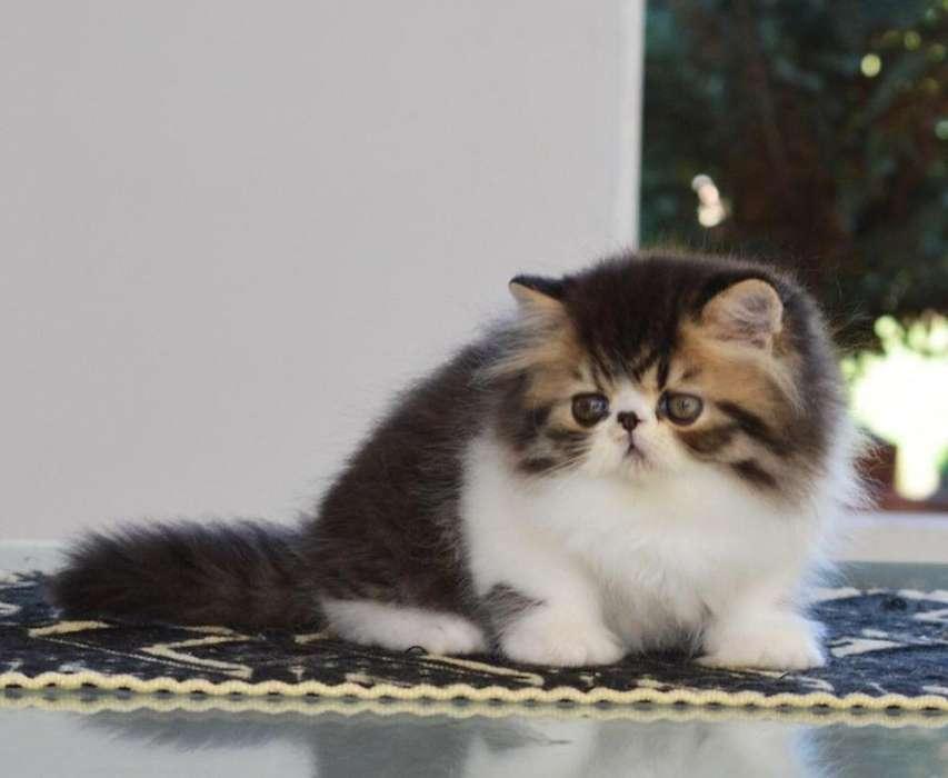 Gatos Persas Y Exóticos