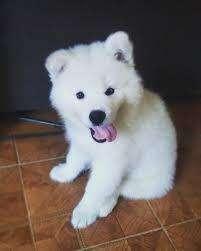venta cachorros samoyedo perros lindos