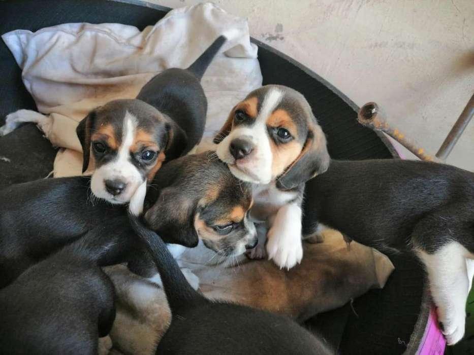 Beagles hembras y machos