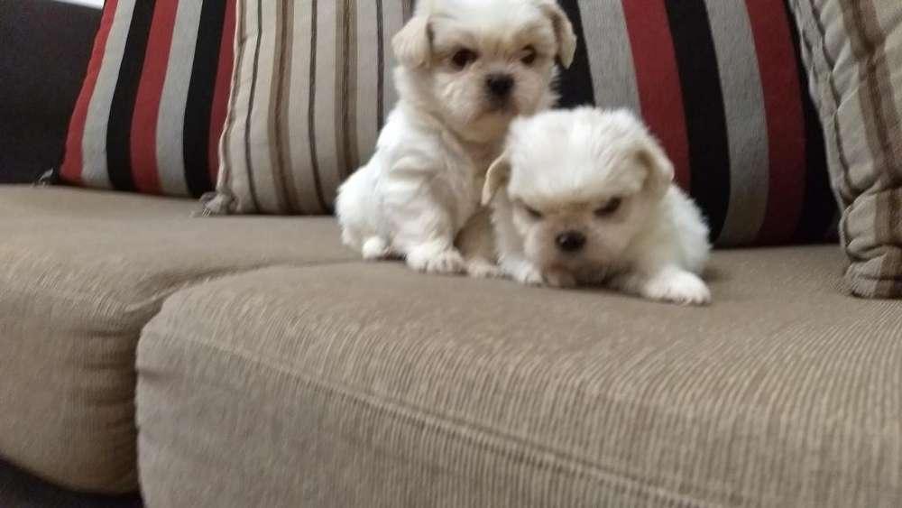 Cachorritos Shihtzu