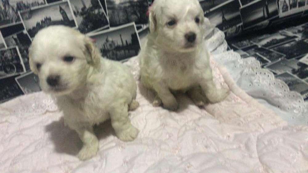 French Poodle Hembra Y Macho Mini