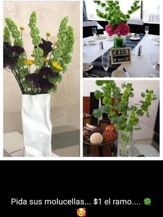 Flores Moluccellas