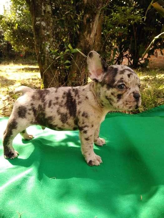 Mini Bulldog Frances Merle Garantizado