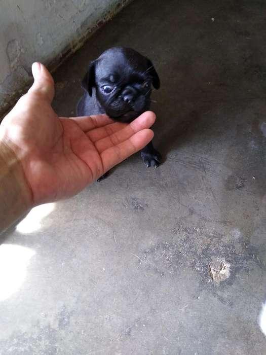 Se Vende Perrito Pug Negro