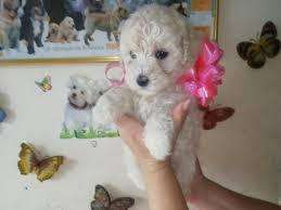 bellos french poodle mini toy