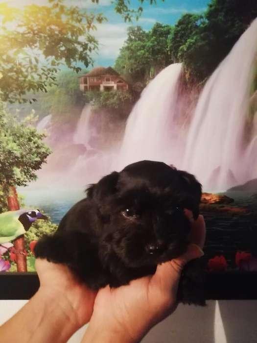 Cachorro Schnauzer Negro Exótico Miniatu