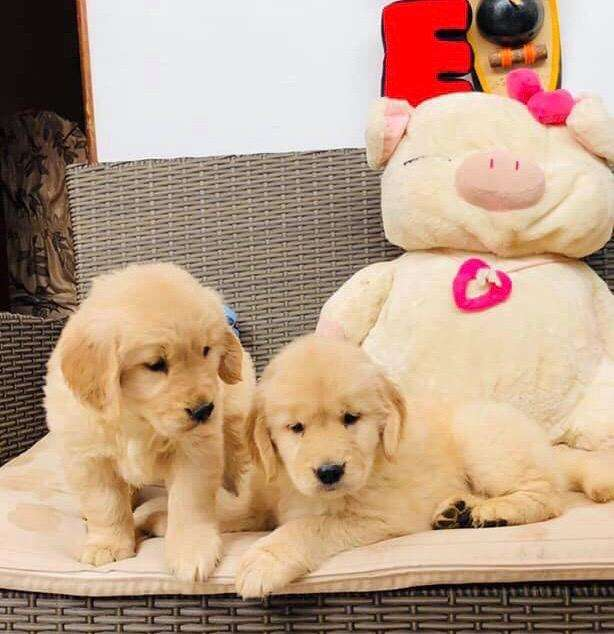 Golden Retriever Legitimos Pet Shop Peru