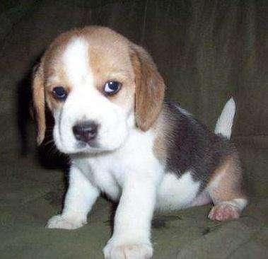 JUGUETONES <strong>beagle</strong>S EN VENTA PET SHOP EN CALI