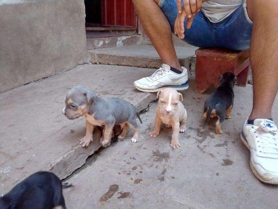 vendo cachorros fusion american bully
