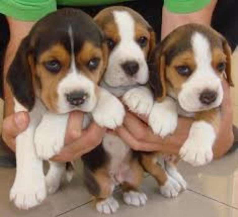 Vendo Beagle Tricolor