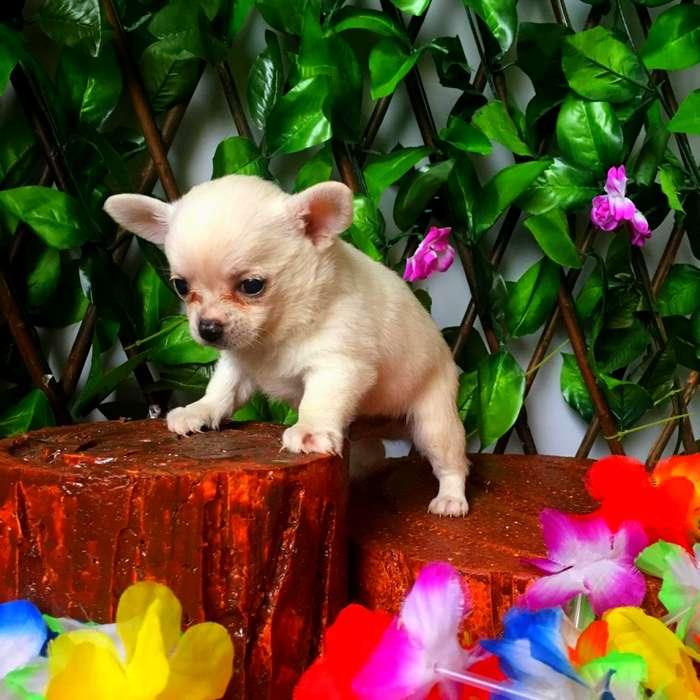 Chihuahua Hermoso Cachorro