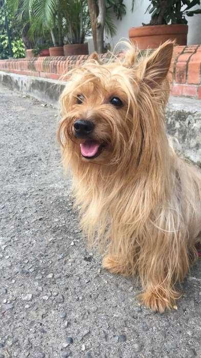 Yorkshire terrier macho para monta