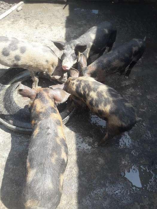 Se Venden 5 Cerdos
